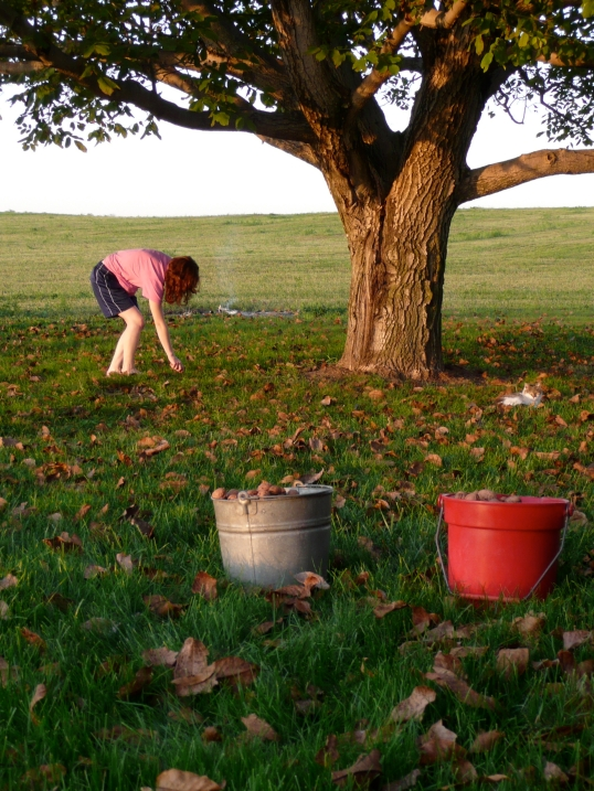 Picking walnuts, 2008