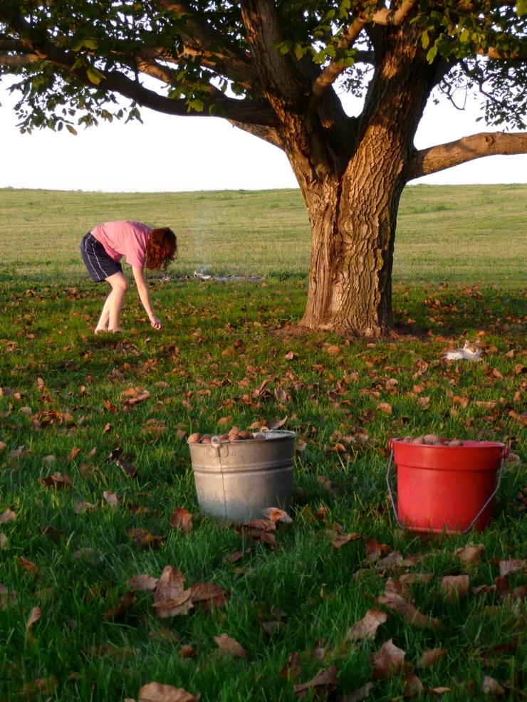 Picking walnuts, 2008