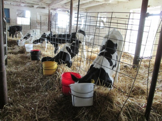 The heifer (female) calves in the barn in the process of drinking their milk from their buckets (2013)