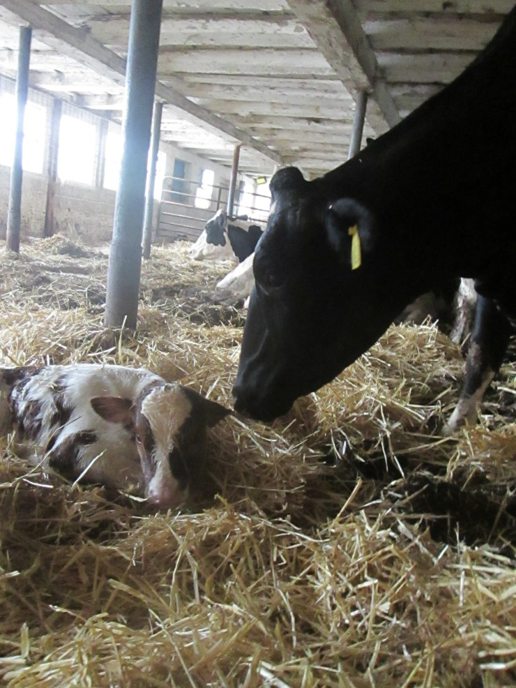 A cow greets a newborn heifer calf that I had just delivered